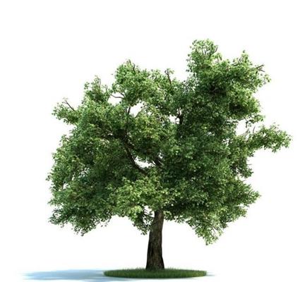景观树1563D模型【ID:317072969】