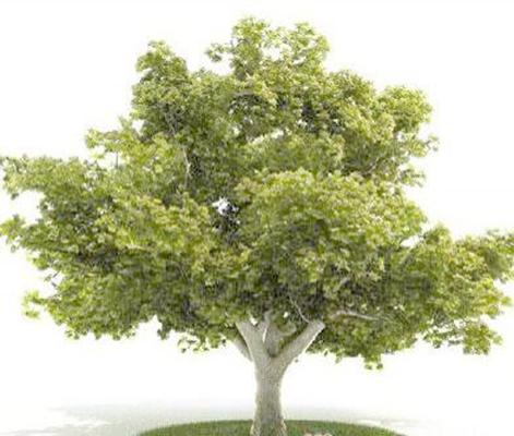 景观树1653D模型【ID:317073903】