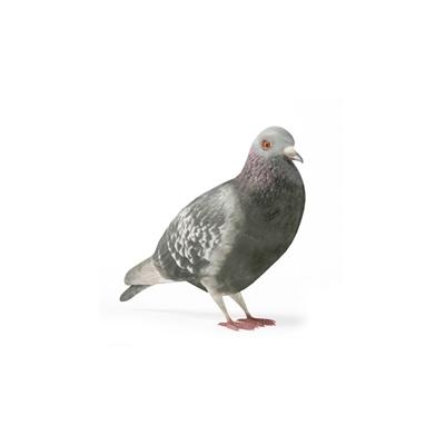 灰色鸽子3D模型【ID:715272583】