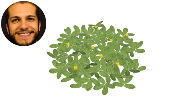 白三叶草(佛罗里达州)的花生花生花生花生球amedoim -绿色 其他 植物 画 花 钱