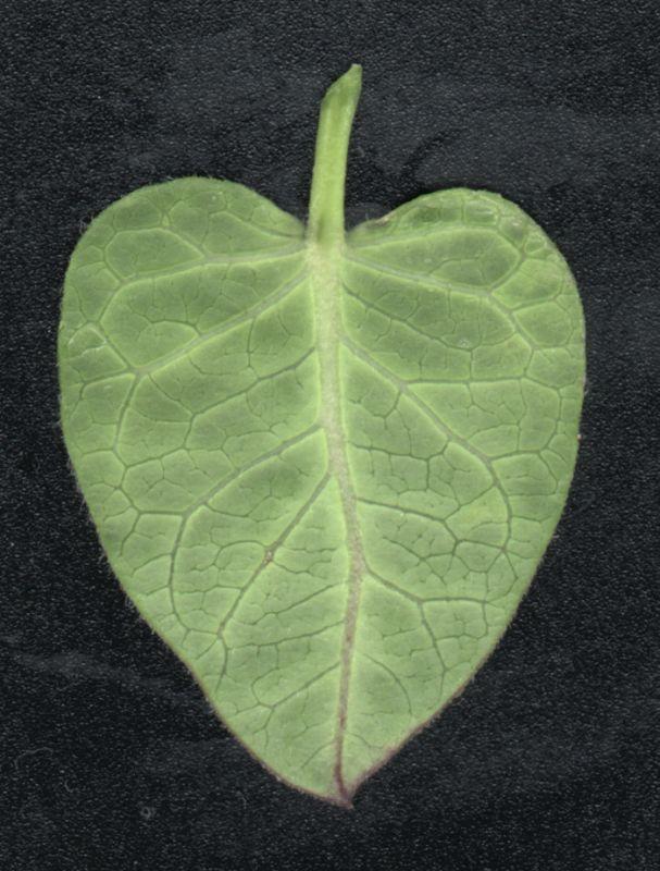 其他杂项-植物纹理 030