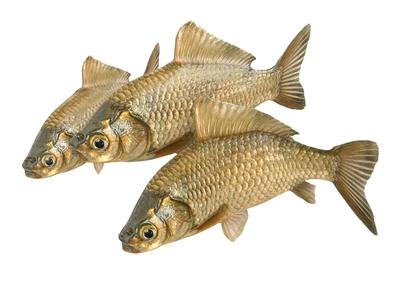 鲫鱼 现代动物 鱼 鲫鱼