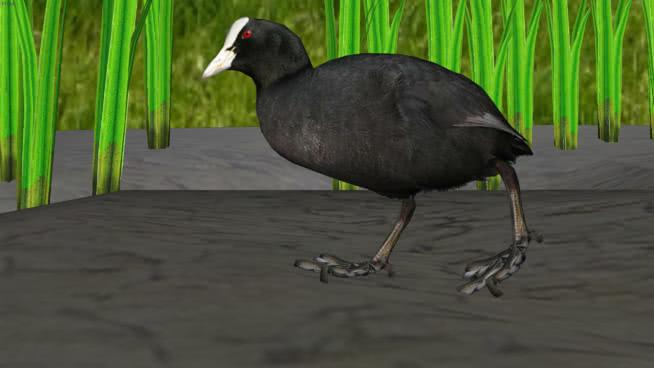 鸟-库特-富利卡-阿特拉(拉特)水鸟 美洲白冠鸡 欧洲水鸡