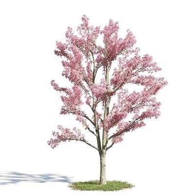 现代樱花树3D模型下载