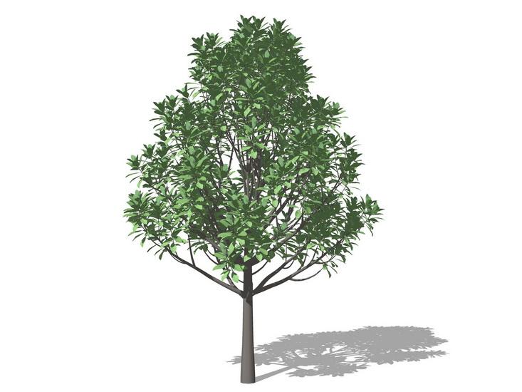 3D植物树广玉兰SU模型