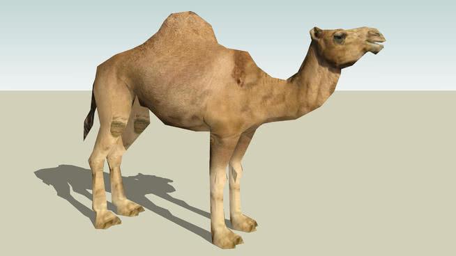 Dromedary Camel(成人)照片纹理完美! 阿拉伯骆驼