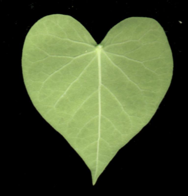 其他杂项-植物纹理 068