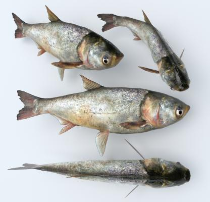 现代白鲢鱼 大头鱼