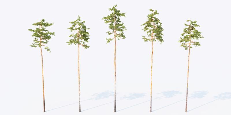 现代松树 景观树 室外植物