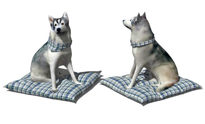 现代宠物狗 哈士奇 家养动物