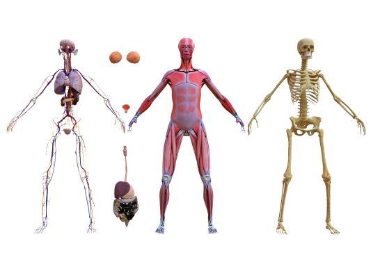 现代人体解剖结构 组织器官
