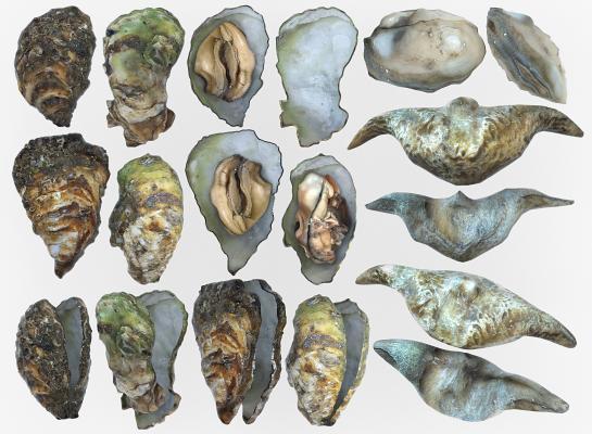 现代生蚝 菱角 牡蛎