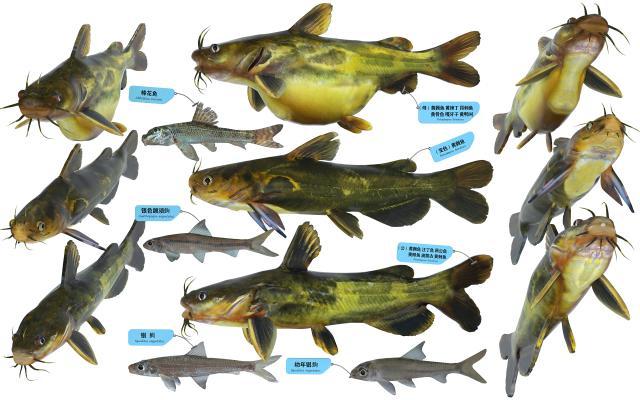 现代黄骨鱼 棒花鱼 银鮈鱼