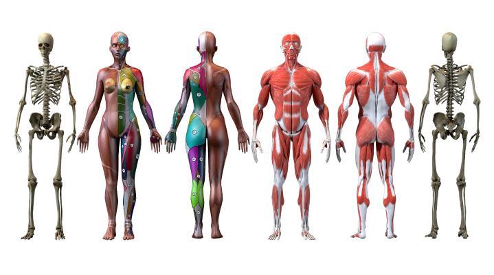 现代医用人体 骨骼 骨架 肌肉结构