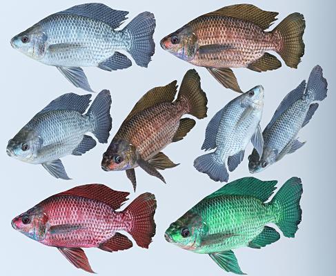现代罗非鱼 慈鲷鱼