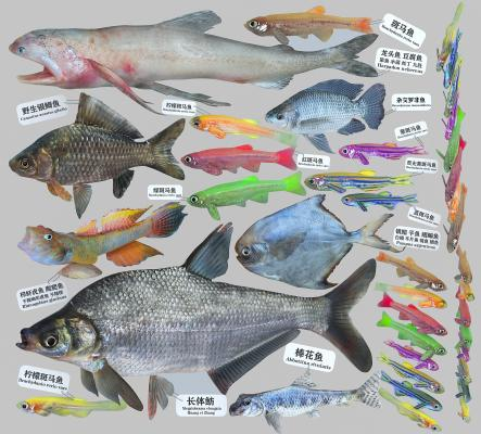 现代龙头鱼 斑马鱼 虾虎鱼