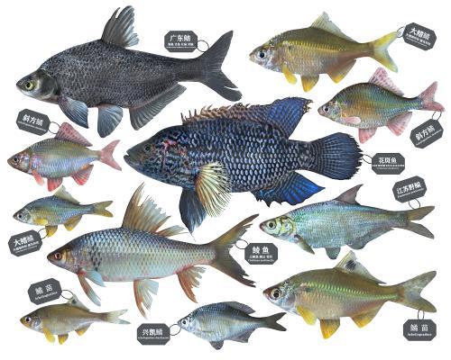 现代鳊鱼 土鲮鱼 花斑鱼