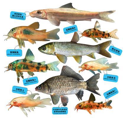 现代甲鲶鱼 鼠鱼