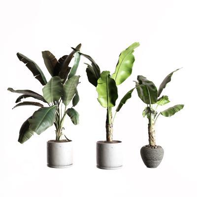 現代盆栽 芭蕉樹