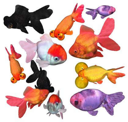 现代金鱼 观赏鱼
