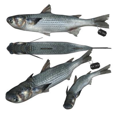 现代鲻鱼 梭鱼