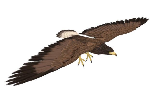 现代动物 鹰 老鹰
