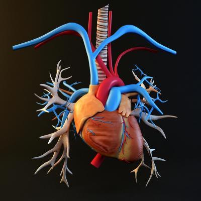 现代风格心脏 器官 科教用具