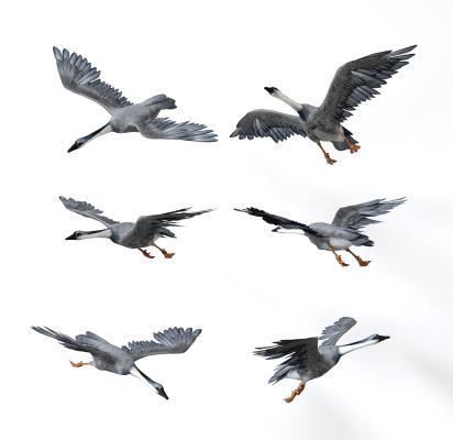 大雁 飞鸟 动物