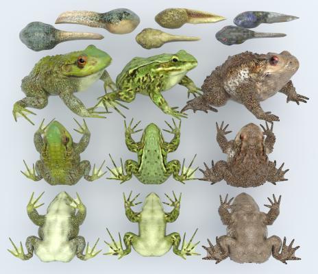 现代青蛙 瘌蛤蟆 蝌蚪