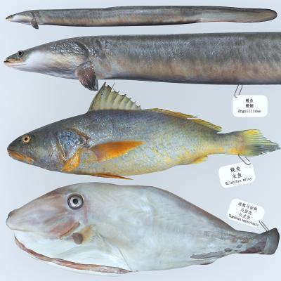 现代马面鱼 米鱼 花鳗鲡