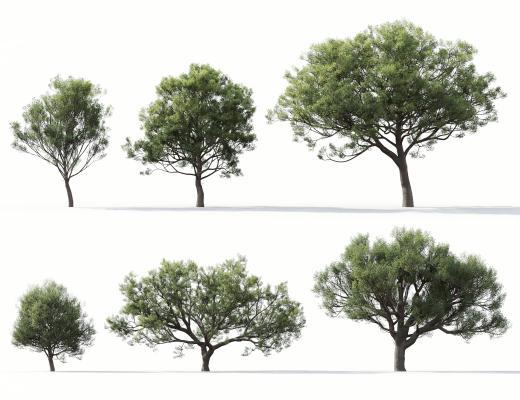 现代风格树 冬青栎