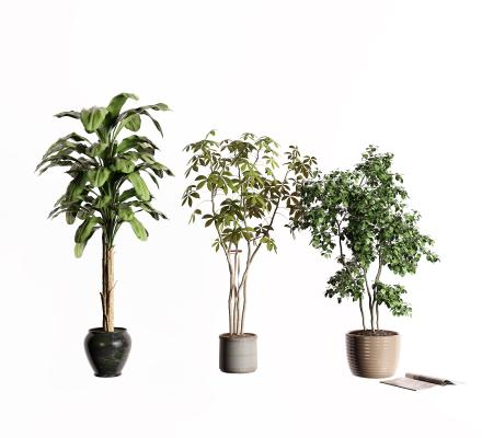现代盆栽 芭蕉树