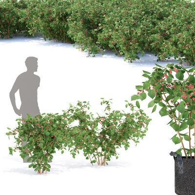 现代盆栽 覆盆子 山莓