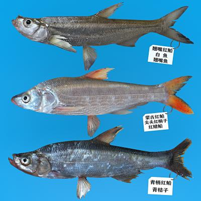 现代翘嘴鱼 白鱼 红鲌鱼