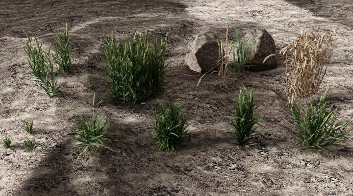 现代植物 土壤 小麦 麦穗