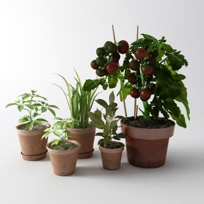 现代盆栽 西红柿