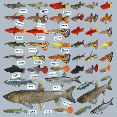 现在孔雀鱼 草鱼 食蚊鱼
