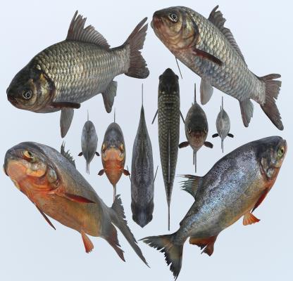 现代鲫鱼 红鲳鱼