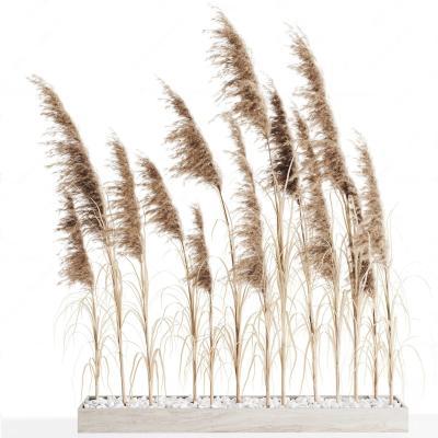 现代芦苇草