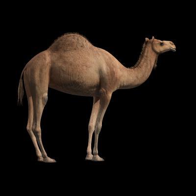 现代动物 骆驼