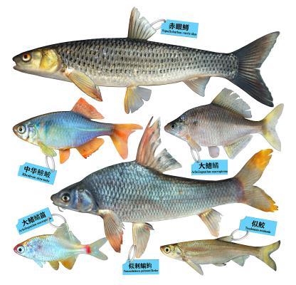 现代赤眼鳟鳑鲏鱼似鳊鱼