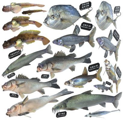 现代海鲈鱼 麦穗鱼 铜鱼