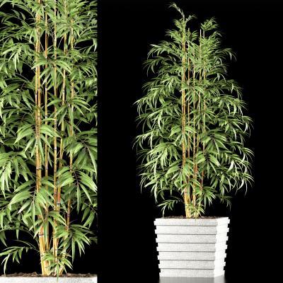 现代竹子 盆栽