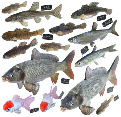 现代鲤鱼 黄黝鱼 金鱼