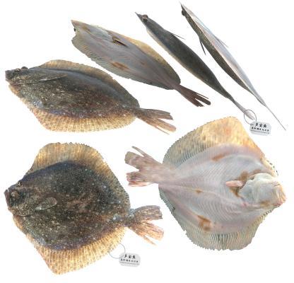 现代多宝鱼 比目鱼 偏口鱼