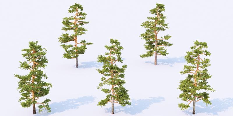 现代松树 松柏树 景观树