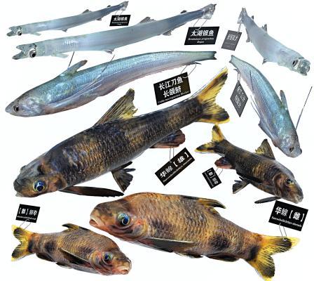 现代刀鱼 银鱼 华鳈鱼