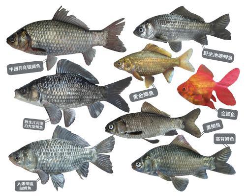 现代鲫鱼 金鱼