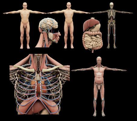 现代人体 器官