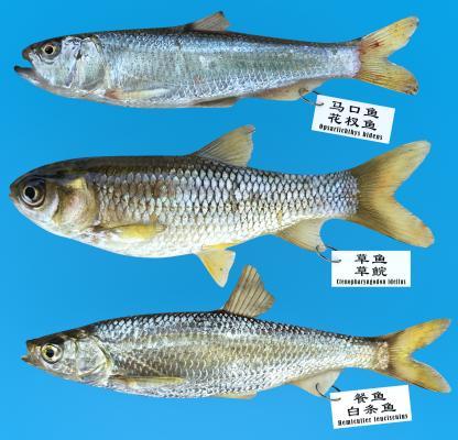 现代马口鱼 草鱼 白条鱼
